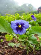 Flower in graden ,pansy closeup Stock Photos