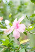 Hibiscus rosa-sinensis flowers, chinese rose Stock Photos