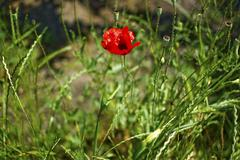 Stock Photo of poppy