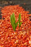 corn seed - stock photo
