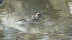 Frog floats Stock Footage