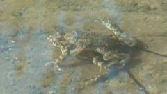 Two frogs couple zoom in Stock Footage