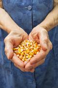 corn in hands - stock photo