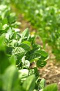 Stock Photo of soybean field