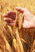 Stock Photo of wheat ears in the hand