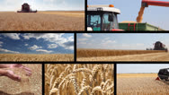 Stock Video Footage of Production of wheat, collage