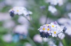 forget-me-not flowers - stock photo
