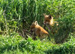 fox cub - stock photo