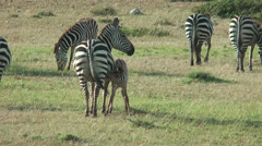 Zebra drinking at mother in Masai Mara, Kenya Stock Footage