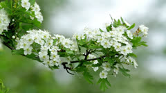 Beautiful hawthorn bush flowers Stock Footage