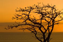 Leafless tree at dusk in pacheca island. las perlas archipelago Stock Photos