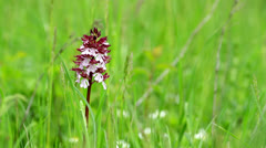 Lady Orchid (Orchis purpurea) Stock Footage