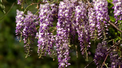 Wisteria sinensis flowers Stock Footage