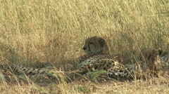 Cheetah brothers resting in Masai Mara, Kenya Stock Footage