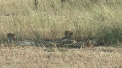 Cheetahs in Masai Mara Savanna resting in high grass, Kenya Stock Footage