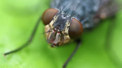 Gray flesh fly - Eye Stock Footage