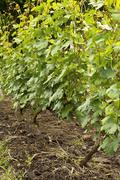 several bunches of unripe young grapes. - stock photo