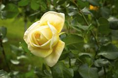 Stock Photo of yellow rose flower blossom.