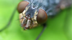 Stock Video Footage of Gray flesh fly - Compound Eye