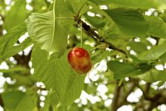 Stock Photo of cherry on a tree branch