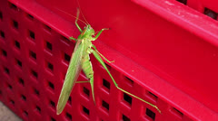 Locust on the red farm basket Stock Footage
