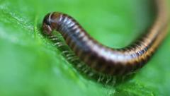 Millipede - Myriapoda Stock Footage