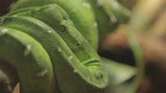 Stock Video Footage of Green python coiled around branch cu, shallowfocus -stab