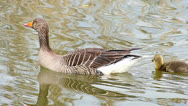 Stock Video Footage of Goose Goslings family swimming positive harmony