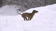 SLOW MOTION: Dog having fun in winter Stock Footage