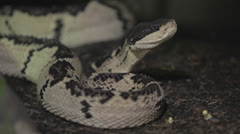 Stock Video Footage of Reflexive coiled black&white snake