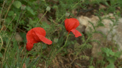 Blooming poppy in mountains Stock Footage