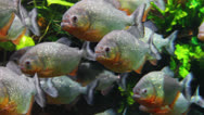 Stock Video Footage of piranhas fish underwater