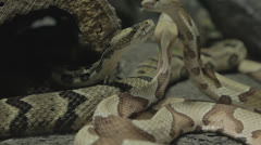 Snake slinks back into shadows from other restless snakes Stock Footage
