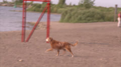 Golden Retriever trots on Toronto Beaches Stock Footage