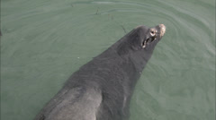 Harbor Seal Floats in Water, Follow, Zoom In HD Video Stock Footage