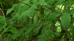 Mountain forest. Leaves after rain Stock Footage