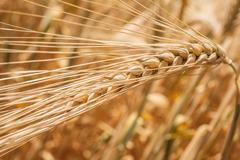 Wheat ears close-up Stock Photos