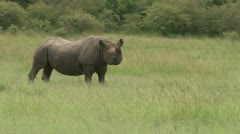 A black rhino grazing Stock Footage