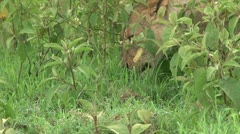 A lioness eating grass Stock Footage