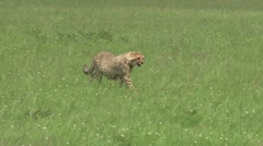 A very full stomach of the cheetah cub Stock Footage