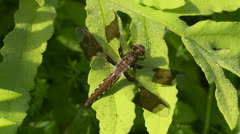Common Whitetail (Plathemis lydia) Dragonfly - Immature Male 2 Stock Footage