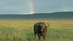 Bufallo chewing cud with a rainbow in the background Stock Footage