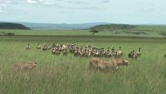 Cheetah eats enough and the vulturea are ready to clean up Stock Footage