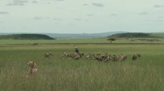 Cheetah with food and vultures standing by Stock Footage