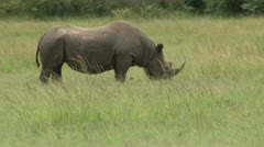 Close up of a lone black rhino Stock Footage