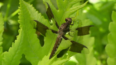 Common Whitetail (Plathemis lydia) Dragonfly - Immature Male 4 Stock Footage