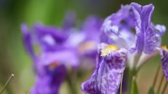 Iris flower - stock footage