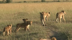 Stock Video Footage of lion cubs and mothers walking in the grass