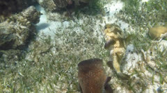 Porcupinefish (Diodon hystrix) Stock Footage