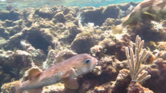 Porcupinefish (Diodon hystrix) Stock Footage